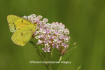 03074-00507 Orange Sulphur (Colias eurytheme) butterfly on Swamp Milkweed (Asclepias incarnata) Marion Co., IL