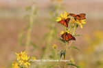 03536-05011 Three Monarch butterflies (Danaus plexippus) on Butterweed (Senecio glabellus) Prairie Ridge State Natural Area, Marion Co., IL