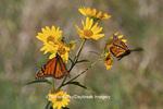 03536-05019 Two Monarch butterflies (Danaus plexippus) on Butterweed (Senecio glabellus) Prairie Ridge State Natural Area, Marion Co., IL