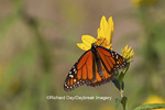 03536-05103 Monarch butterfly (Danaus plexippus) on Butterweed (Senecio glabellus) Prairie Ridge State Natural Area, Marion Co., IL