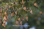 03536-05108 Monarch butterflies (Danaus plexippus) roosting in Eastern Red Cedar tree (Juniperus virginiana),  Prairie Ridge State Natural Area, Marion Co., IL