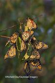 03536-05114 Monarch butterflies (Danaus plexippus) roosting on tree branch,  Prairie Ridge State Natural Area, Marion Co., IL