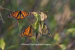 03536-05115 Monarch butterflies (Danaus plexippus) roosting on tree branch,  Prairie Ridge State Natural Area, Marion Co., IL