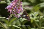 03551-00910 Silver-spotted Skipper butterfly (Epargyreus clarus) on Butterfly Bush (Buddleia davidii) Marion Co., IL