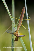 04250-00212 Praying Mantis eating Widow Skimmer dragonfly (Libellula luctuosa) Marion Co., IL