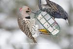 01193-01713 Northern Flicker (Colaptes auratus) male and European Starling (Sturnus vulgaris) on suet cake feeder in winter, Marion Co., IL