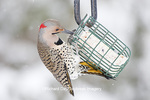01193-01715 Northern Flicker (Colaptes auratus) male on suet cake feeder in winter, Marion Co., IL