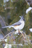 01298-03510 Tufted Titmouse (Baeolophus bicolor) in spruce tree in winter, Marion Co., IL