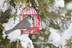 01298-03511 Tufted Titmouse (Baeolophus bicolor) on suet cake feeder in winter, Marion Co., IL