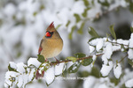 01530-20906 Northern Cardinal (Cardinalis cardinalis) female in American Holly (Ilex opaca) in winter, Marion Co., IL