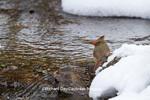01530-21105 Northern Cardinal (Cardinalis cardinalis) female drinking in winter, Marion Co., IL