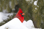 01530-21212 Northern Cardinal (Cardinalis cardinalis) male in spruce tree in winter, Marion Co., IL