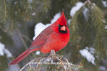 01530-21213 Northern Cardinal (Cardinalis cardinalis) male in spruce tree in winter, Marion Co., IL