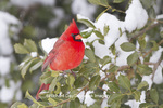 01530-21216 Northern Cardinal (Cardinalis cardinalis) male in American Holly tree (Ilex opaca) in winter, Marion Co., IL