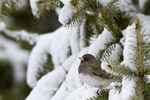 01569-01701 Dark-eyed Junco (Junco hyemalis) in spruce tree in winter, Marion Co., IL