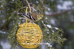 01640-16113 American Goldfinches (Carduelis tristis) on yellow ball sunflower bird feeder in winter, Marion Co., IL