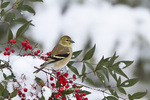 01640-16118 American Goldfinch (Carduelis tristis) in Heavenly Bamboo (Nandina domestica) in winter, Marion Co., IL