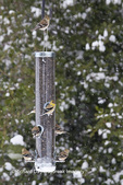 01640-16201 American Goldfinches (Carduelis tristis) on sunflower seed tube feeder in winter, Marion Co., IL