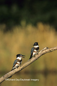 01186-00614 Belted Kingfishers (Ceryle alcyon) on log in wetland Marion Co.  IL