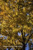 63876-00904 Sugar maple trees in fall    IL