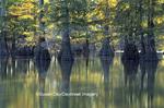 63895-05314 Bald Cypress (Taxodium distichum) trees Horseshoe Lake SP   IL