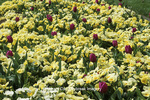 65021-02615 Pansies (Viola x wittrockiana 'Clear Sky Primrose') & Double Tulips (Tulipa 'Maywonder') MO Botanical Garden, St Louis MO