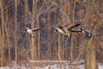 00748-05503 Canada Geese (Branta canadensis) in flight and landing on frozen lake,  Marion Co, IL