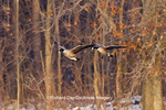 00748-05505 Canada Geese (Branta canadensis) in flight and landing on frozen lake,  Marion Co, IL