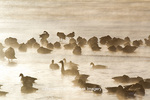 00748-05602 Canada Geese (Branta canadensis) flock on frozen lake,  Marion Co, IL