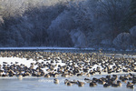 00748-05610 Canada Geese (Branta canadensis) flock on frozen lake,  Marion Co, IL