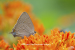 03159-00210 Banded Hairstreak butterfly (Satryium calanus) on Butterfly Milkweed (Asclepias tuberosa) Marion Co., IL