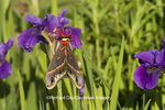 04013-00106 Cecropia Moth (Hyalophora cecropia) in flower garden, Marion Co., IL