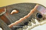 04013-00112 Cecropia Moth (Hyalophora cecropia) wing, Marion Co., IL