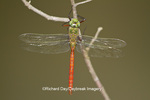 06362-00116 Comet Darner dragonfly (Anax longipes) in wetland, Effingham Co., IL