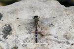 06475-00105 Eastern Least Clubtail dragonfly (Stylogomphus albistylus) female near creek, Ripley Co., MO