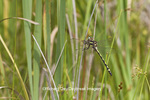 06496-00208 Arrowhead Spiketail dragonfly (Cordulegaster obliqua) female in fen, Reynolds Co., MO