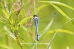 06593-00906 Eastern Pondhawk dragonfly (Erythemis simplicicollis) male perched near wetland, Marion Co., IL