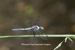 06629-00119 Great Blue Skimmer dragonfly (Libellula vibrans) male perched near wetland, Marion Co., IL