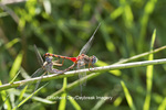 06652-00707 Blue-faced Meadowhawk dragonfly (Sympetrum ambiguum) male and female in copulation wheel, Marion Co., IL