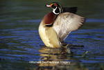 00715-07510 Wood Duck (Aix sponsa) male flapping wings in wetland Marion Co.  IL