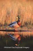 00729-018.08 Mallard (Anas platyrhynchos) male on log in wetland Marion Co.  IL