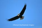 00807-013.02 Bald eagle (Haliaeetus leucocephalus) in flight Chilkat River, Haines   AK