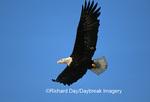 00807-013.10 Bald eagle (Haliaeetus leucocephalus) in flight Chilkat River, Haines   AK