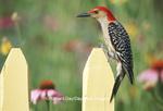 01196-02912 Red-bellied Woodpecker (Melanerpes carolinus) male on picket fence near flower garden Marion Co IL