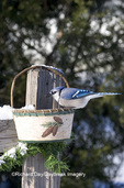 01288-04611 Blue Jay (Cyanocitta cristata) eating sunflower seeds from basket in winter Marion Co.  IL