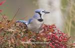01288-04617 Blue Jay (Cyanocitta cristata) in Nandina Heavenly Bamboo bush (Nandina domestica) Marion Co.  IL