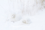 01863-01317 Two Arctic Foxes (Alopex lagopus) in snow Chuchill Wildlife Mangaement Area, Churchill, MB Canada