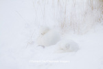 01863-01407 Two Arctic Foxes (Alopex lagopus) in snow Chuchill Wildlife Mangaement Area, Churchill, MB Canada