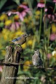 01377-08602 Eastern Bluebird (Sialia sialis) female feeding fledgling on fence near flower  garden, Marion Co.  IL
