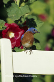 01377-14518 Eastern Bluebird (Sialia sialis) male on chair near Hollyhocks (Alcea rosea) Marion Co.  IL